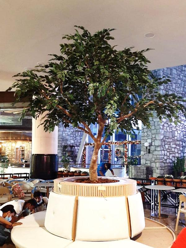 Bespoke Ficus tree - Massimo