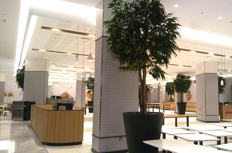 Ficus Lonifolia - Burj Khalifa