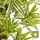 faux dracaena tree leaves