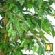 faux ficus tree leaves