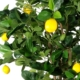 artificial lemon fruit tree leaves