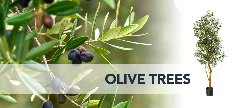 Shop Olive Trees Dubai